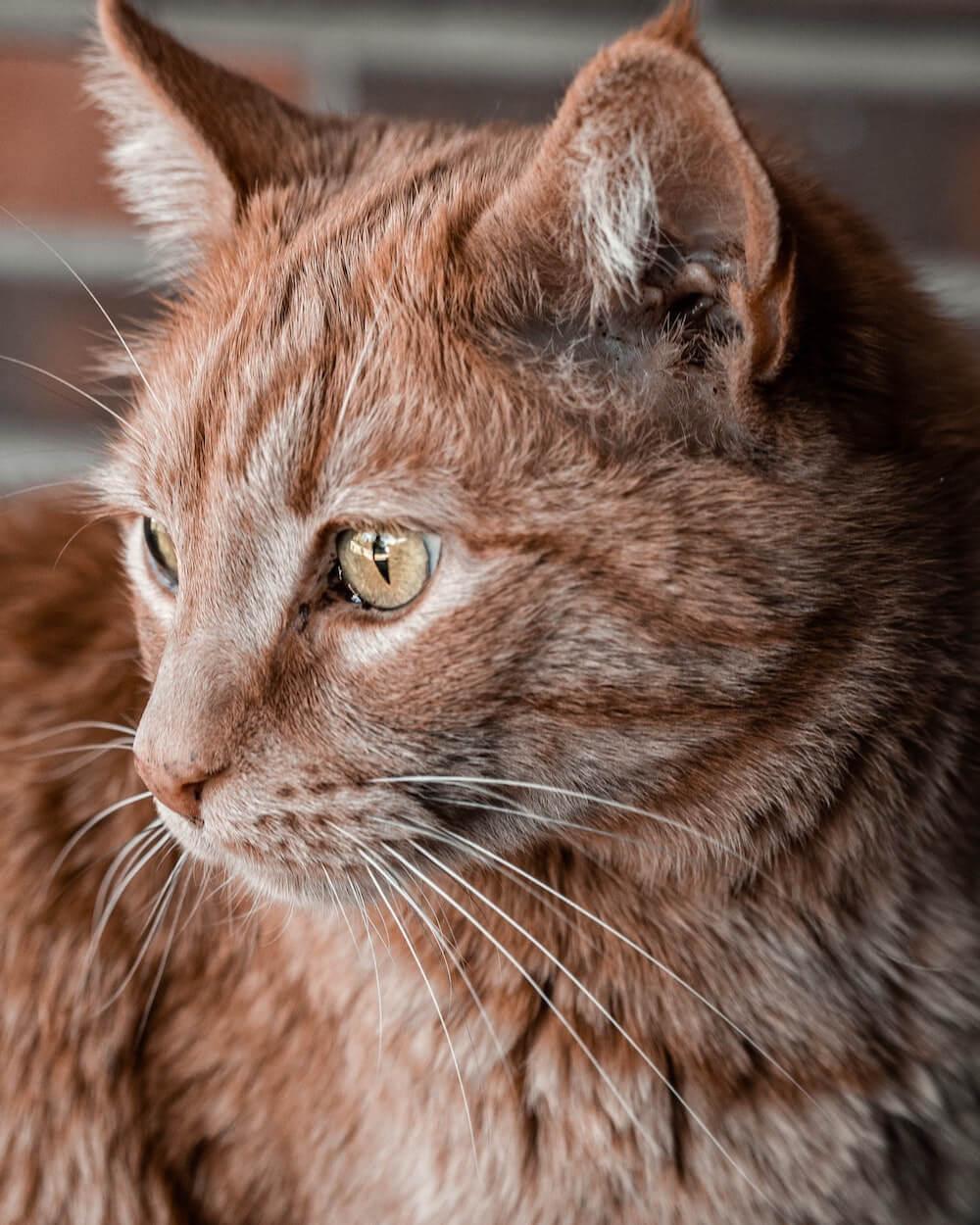 飼い猫・茶トラ猫のイメージ写真
