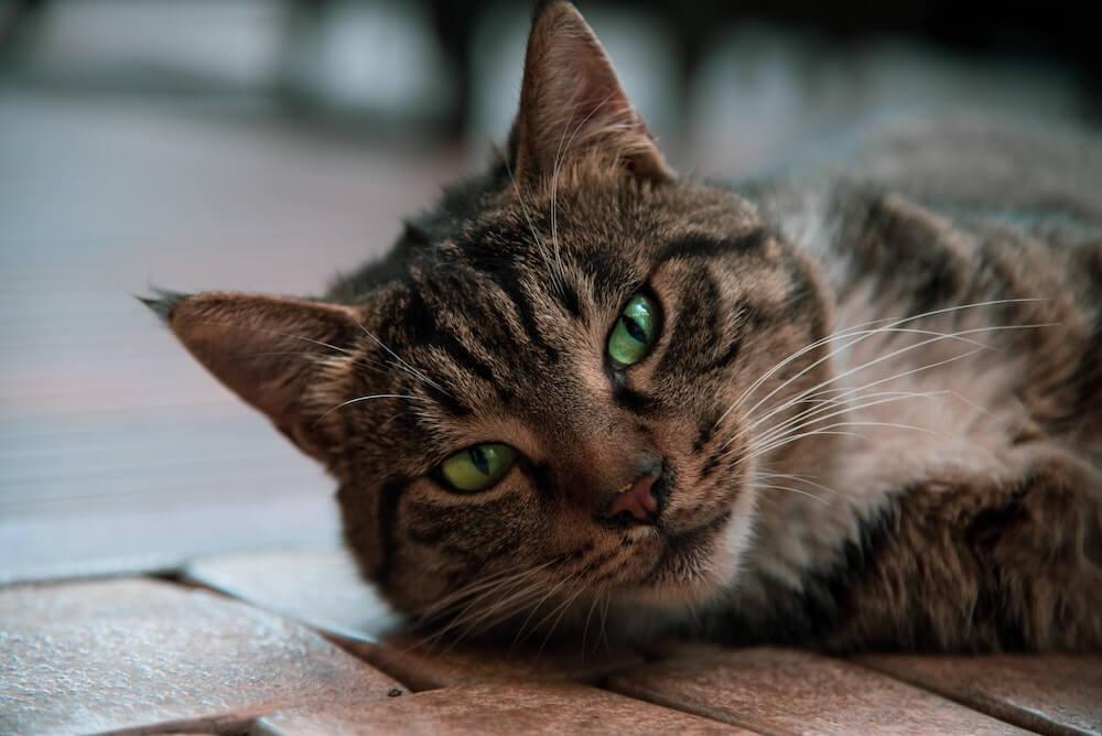横たわって食欲がなさそうに見える猫のイメージ写真
