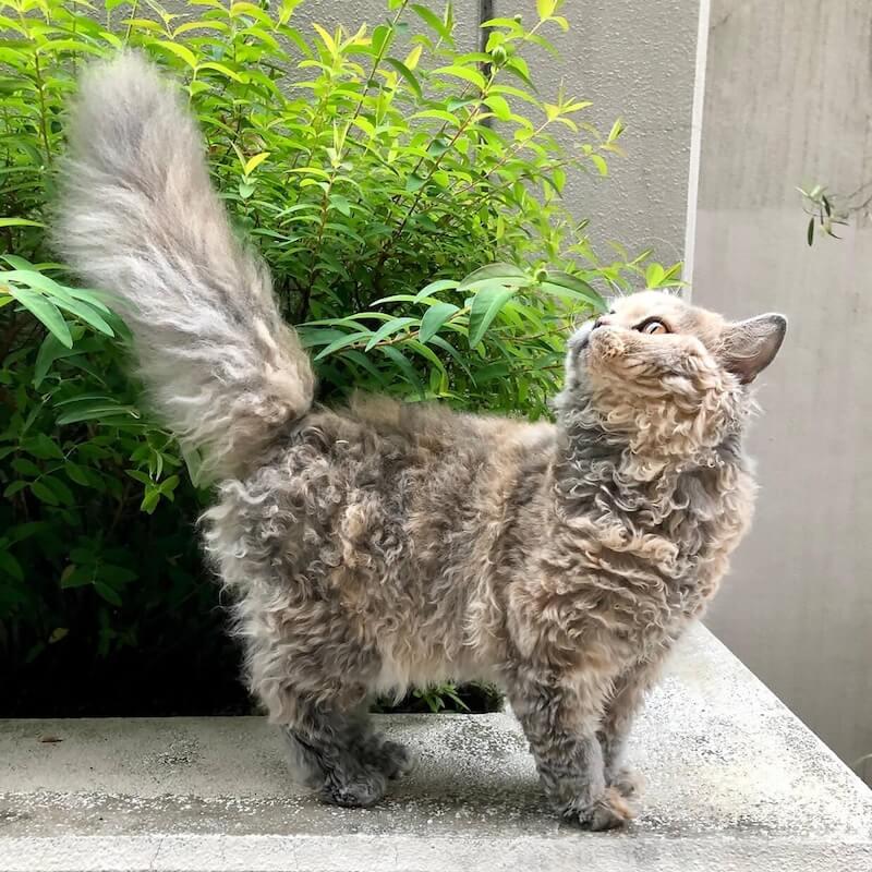 しっぽを大きく膨らませた巻毛長毛猫