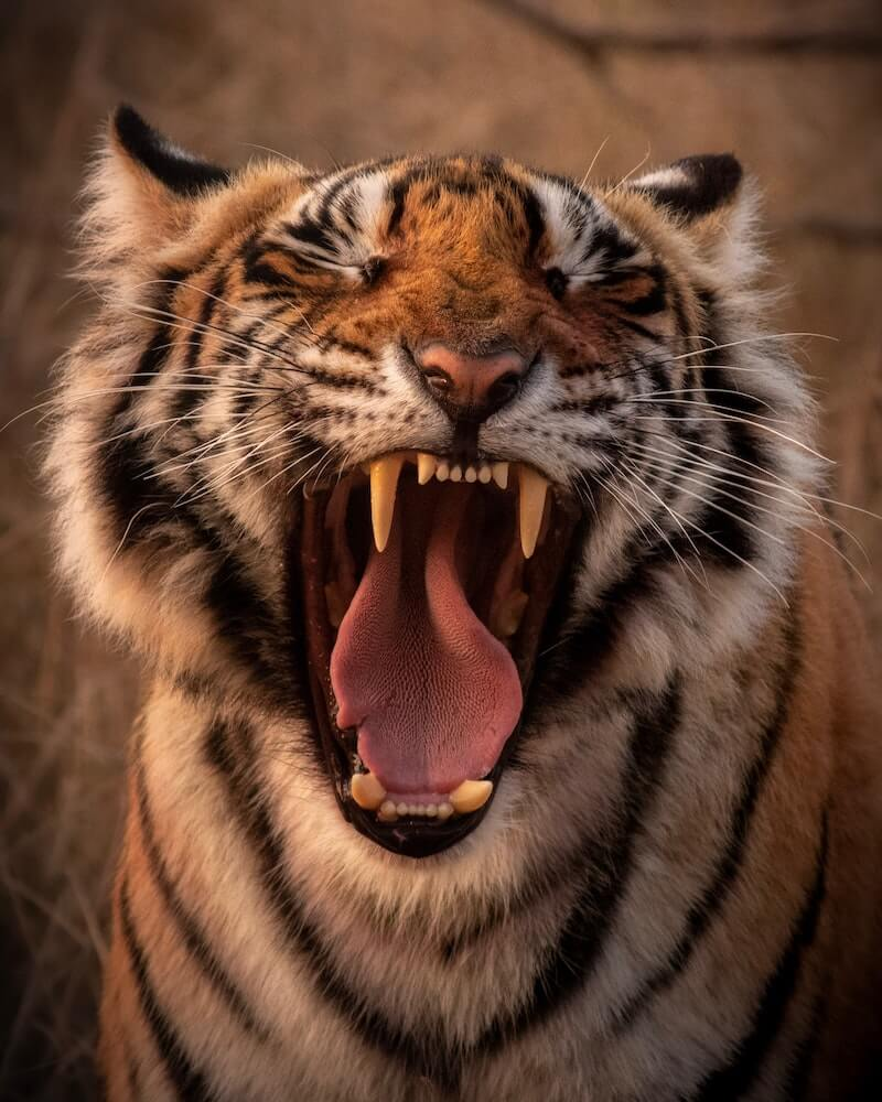 大きく口を開けた虎のイメージ写真