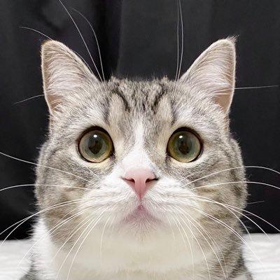 スコティッシュフォールドの人気猫「もちまる」