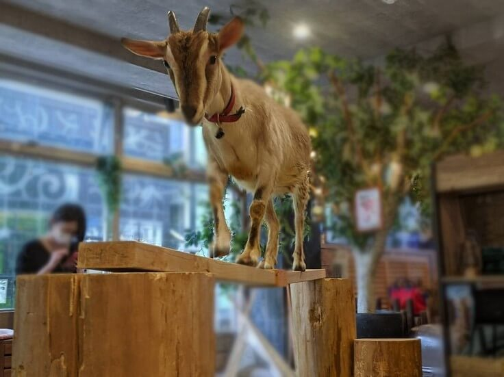 動物カフェAnimeal(アニミル)で板の上を歩くヤギの様子