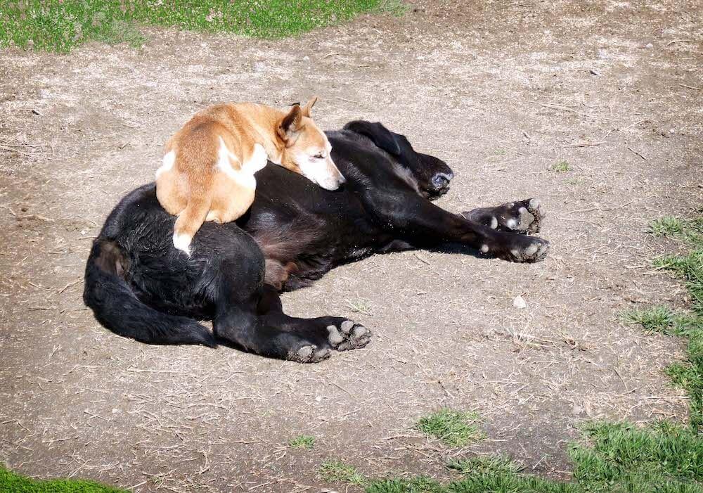 寝そべった犬の上で眠る犬の写真 by 命をつないだワンニャン写真コンテスト「理事長賞」受賞作品