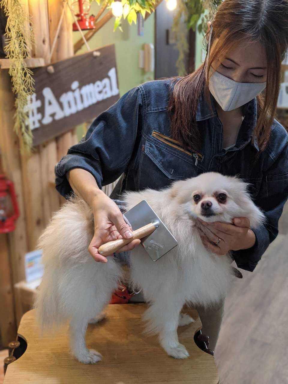 小型犬にブラッシングする様子 by 動物カフェAnimeal(アニミル)の飼育体験イベント