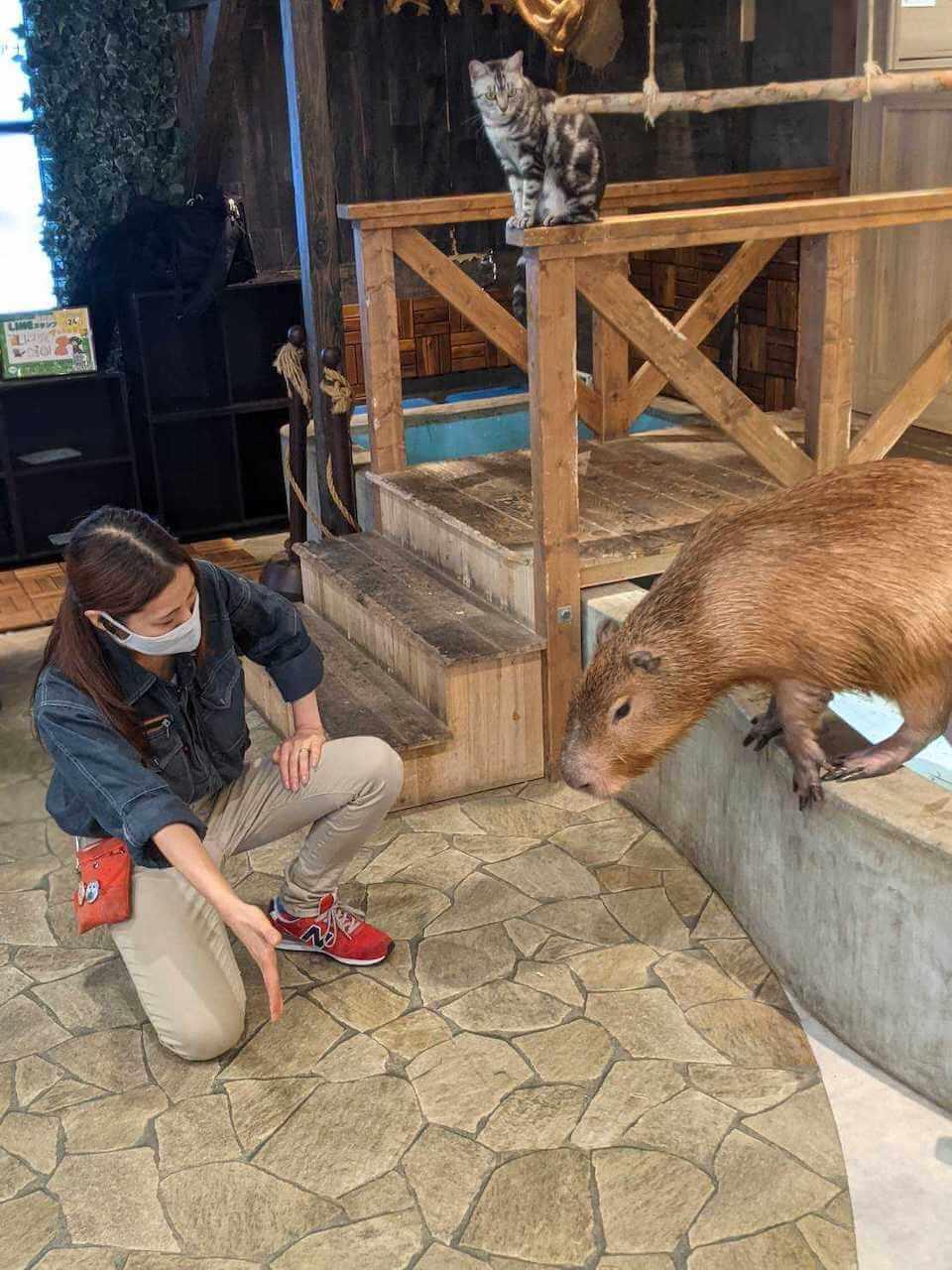 カピバラをトレーニングする様子 by 動物カフェAnimeal(アニミル)の飼育体験イベント