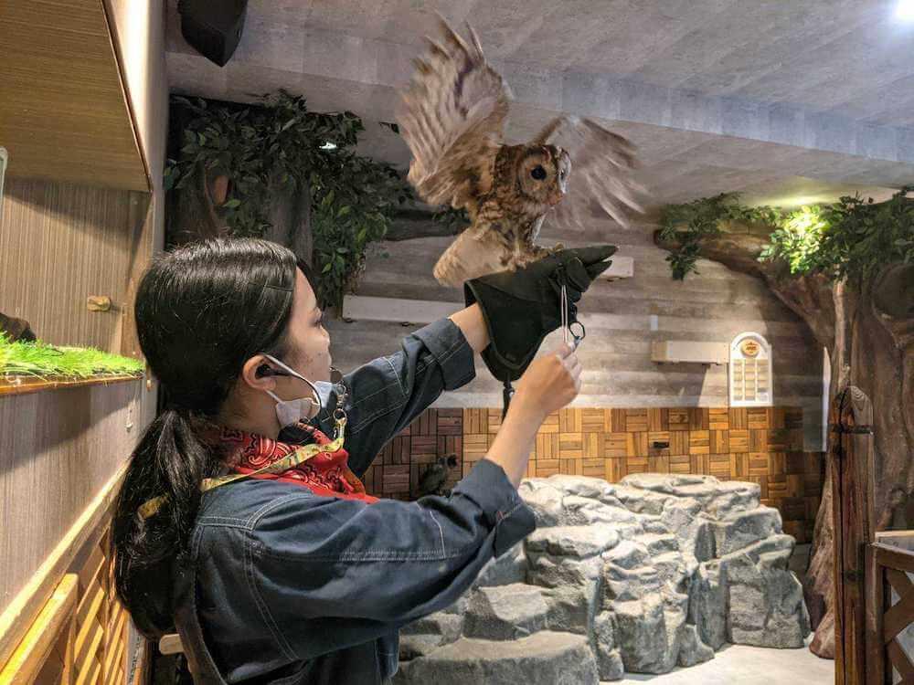 フクロウをトレーニングする様子 by 動物カフェAnimeal(アニミル)の飼育体験イベント